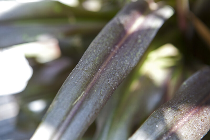 Pineapple Lily Leaves