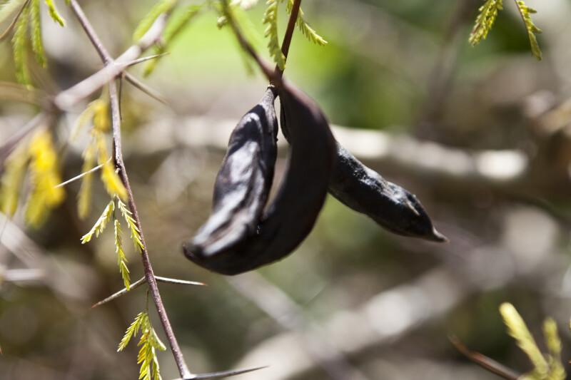 Pineland Acacia Fruit Clippix Etc Educational Photos For Students
