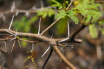 Pineland Acacia Thorns