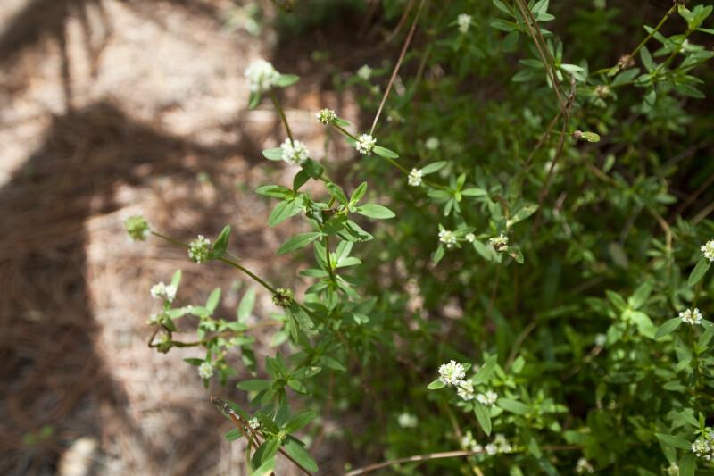 Pineland Croton