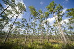 Pines and Palmettos at Long Pine Key