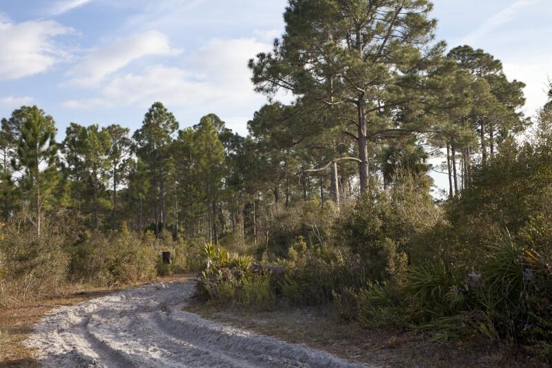 Pines and Shrubs Along Firebreak