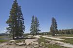 Pines Trees at Tuolumne Meadows