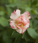Pink and White Rose Flower at the Villa Borghese Gardens