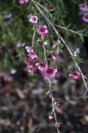 """""""Pink Cascade"""" Manuka Branch Pink Flowers"""
