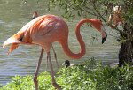 Pink Flamingo Walking near a Pond
