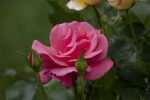 Pink Flower and Green Flower Buds
