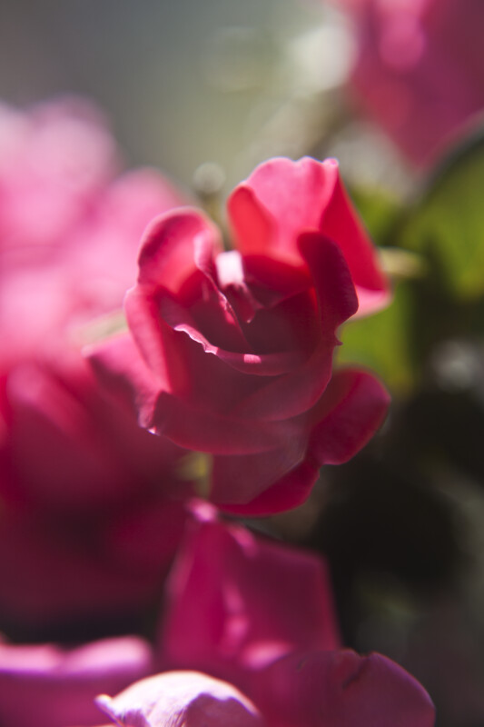 Pink Flower of a Rose