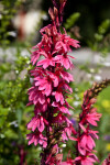 Pink Flower Stalk