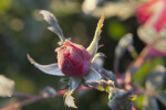 Pink, Frosted Flower Bud of Rose Plant