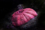 Pink Invertebrate with White Dots