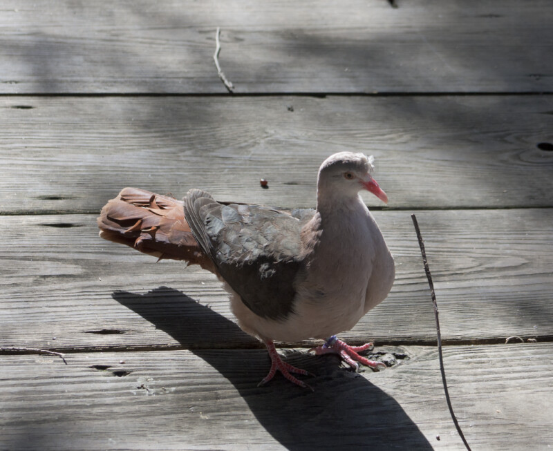 Pink Pigeon on Boardwalk