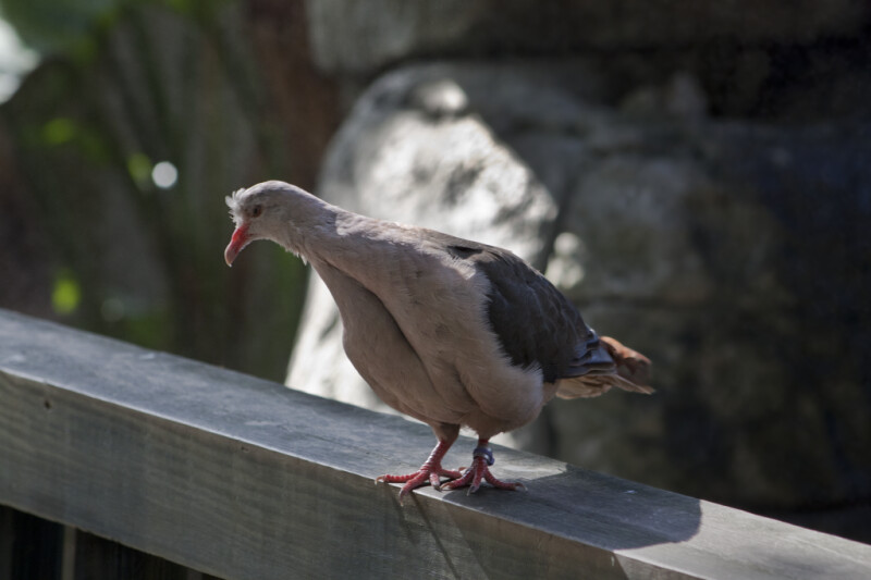 Pink Pigeon on Rail