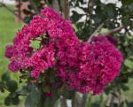 Pink, Ruffled Flowers