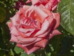 Pink, Ruffled Rose Flower
