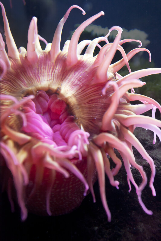 Pink Sea Anemone Close-Up