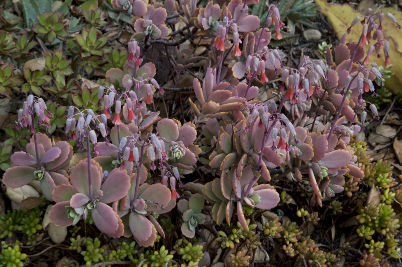 Pink succulent plants with drooping flowers clippix etc pink succulent plants with drooping flowers mightylinksfo