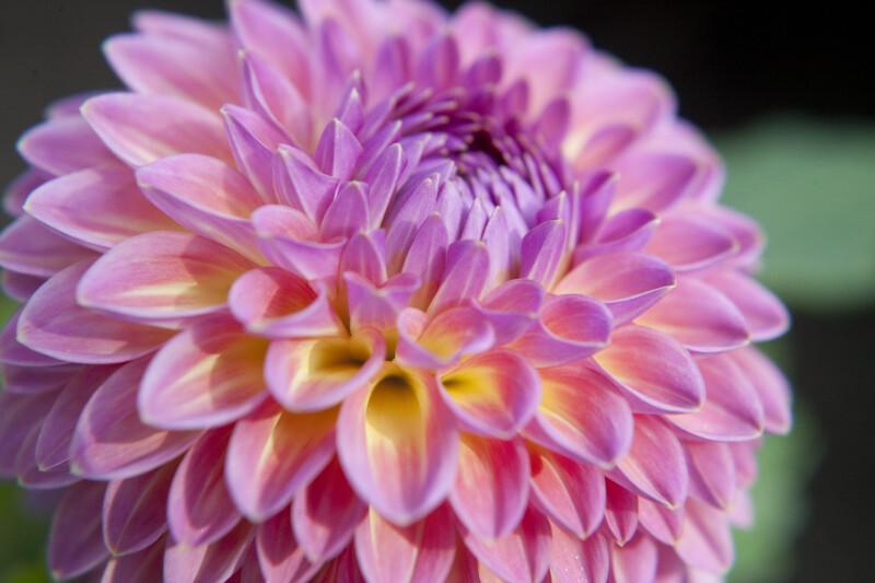 Pink Suffusion' Dahlia