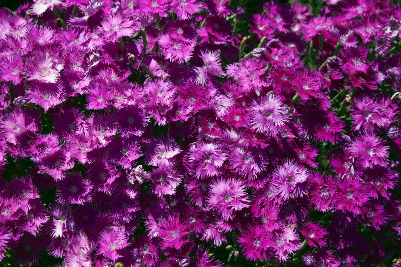 Pinkish-Purple Flowers