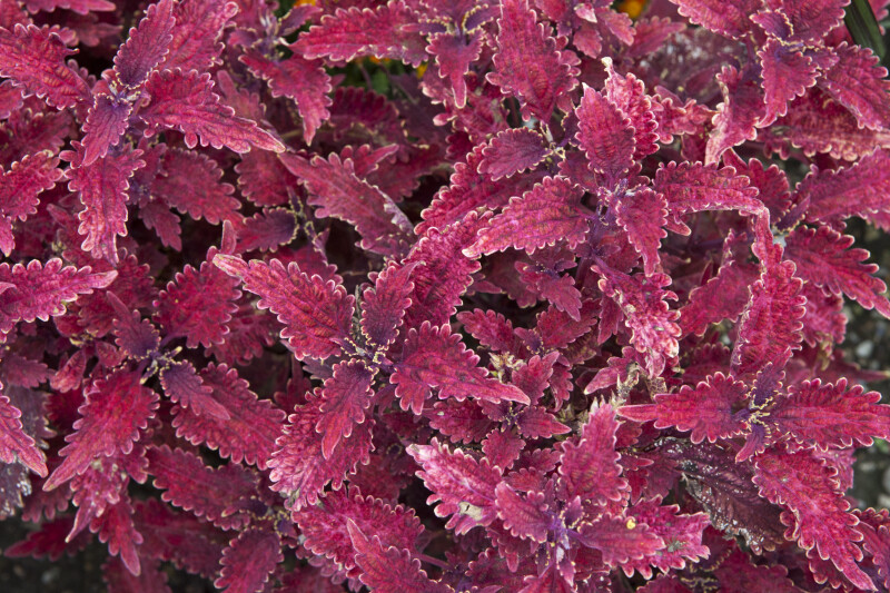 Pinkish-Purple Coleus Leaves