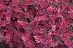 Pinkish-Purple Coleus Leaves