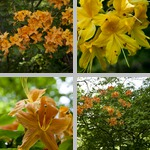 Pinkshell Azalea photographs