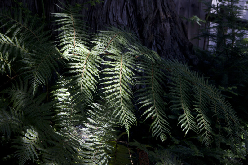 Pinnate-Leaved Branches of a Fern