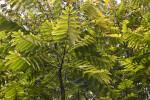 Pinnate Leaves of a Cedrela salvadorensis