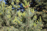 Piñon Pine Close-Up