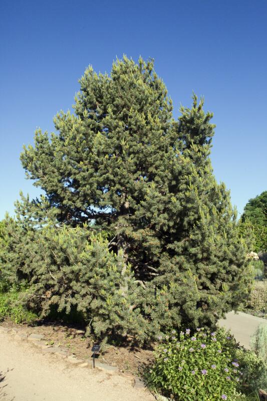 Piñon Pine Tree