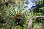 Pinus ponderosa Needles