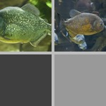 Piranhas photographs