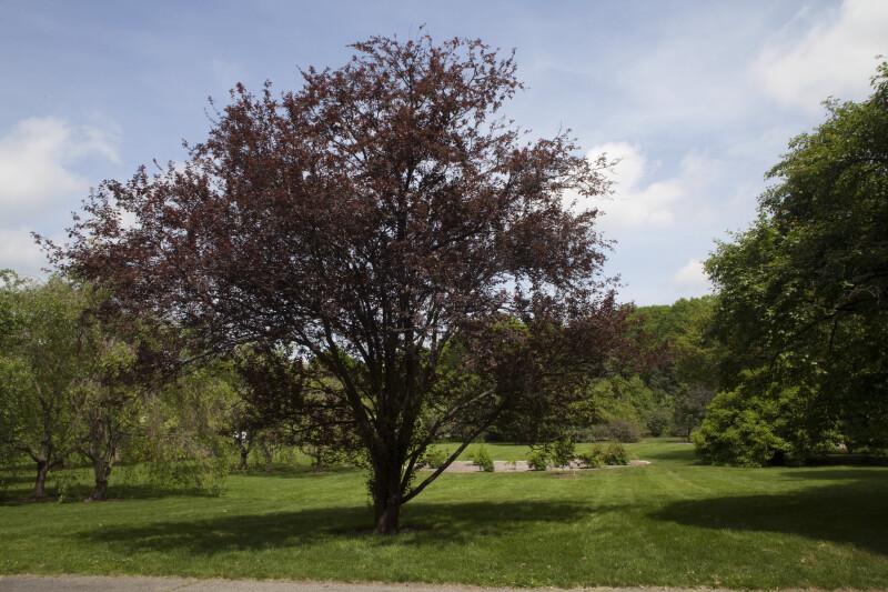 "Pissard Plum ""Atropurpurea"" Tree"
