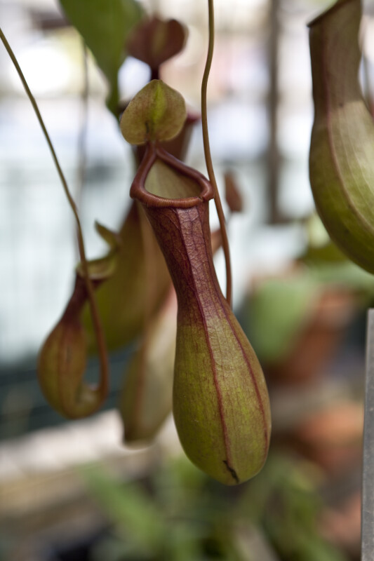 Pitcher Plant Detail
