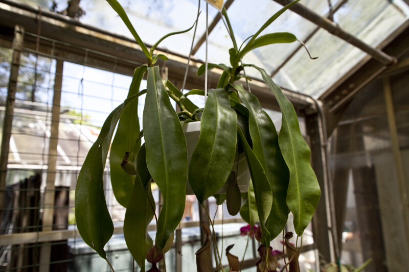 Pitcher Plant Leaves