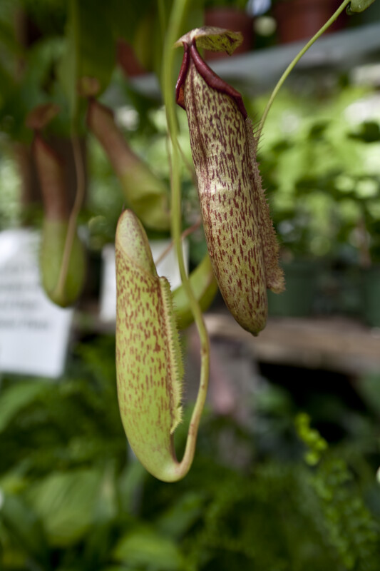 Pitcher Plant Pitchers