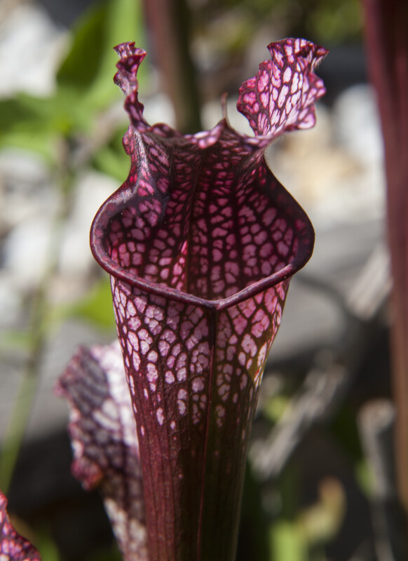 Pitcher Plant Rim - Frontal View
