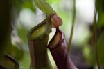 Pitcher Plant Tops