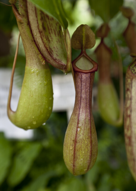 Pitcher Plant Trap