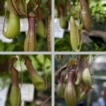 Pitcher Plants photographs