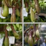 Pitcher Plants photographs