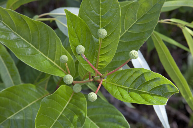Plant with Glossy Green Leaves and Flower Balls