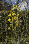 Plant with Green Stalks and Yellow Flowers