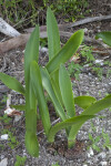 Plant with Long, Green Leaves at the Flamingo Campgrounds of Everglades National Park