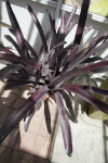 Plant with Purple, Spiny Leaves