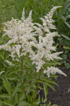 Plant with White Flowers Growing on a Raceme and Serrated, Green Leaves