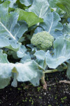 Planted Broccoli