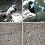 Plovers photographs