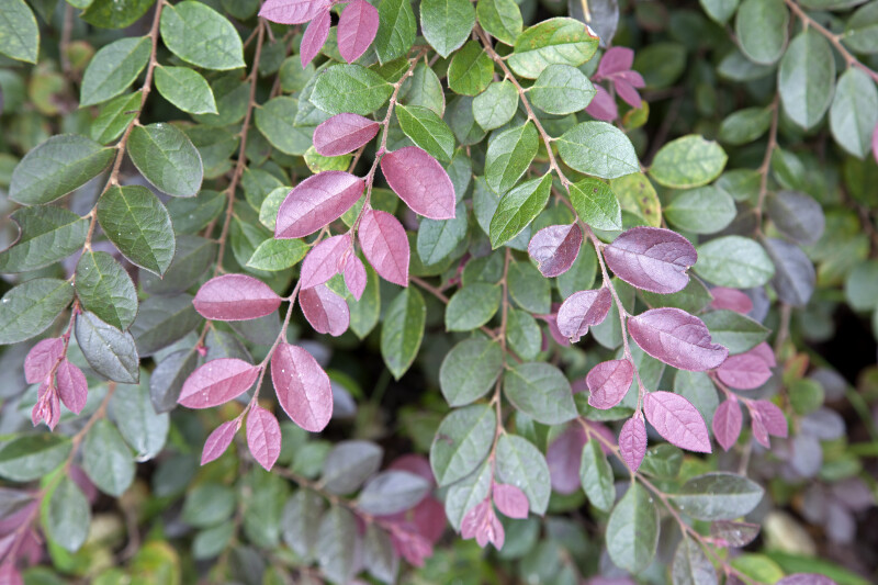 Plum Loropetalum Plant with Purple and Green Leaves