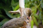 Plumed Whistling-Duck Close-Up